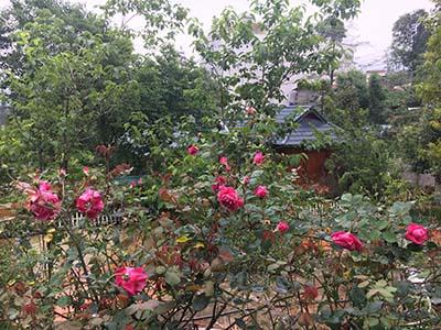 Villa hoa hồng